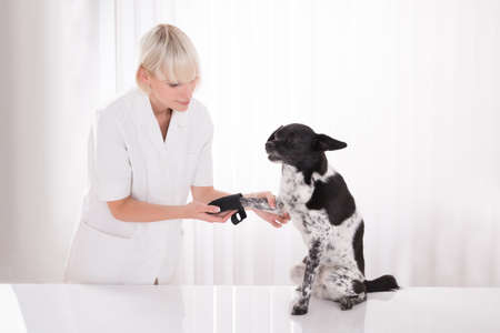 recovery: Young Female Vet Putting Bandage On Dogs Paw In Clinic Stock Photo