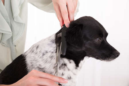 house trained: Close-up Of Woman Cutting Hair Of Her Dog With Scissor And Comb Stock Photo