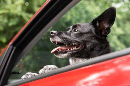 Dog Traveling By Car Looking Outside Window Stock Photo