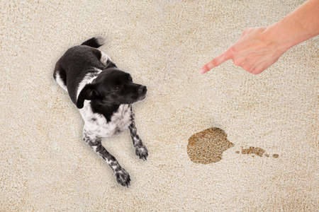Elevated View Of Hand Pointing Toward The Dog Sitting On White Dirty Carpet Banco de Imagens