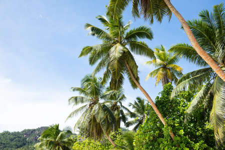 Low Angle View Of Green Coconut Palm Trees Anse Marie-Loise Beach, Mahe Island, Seychelles