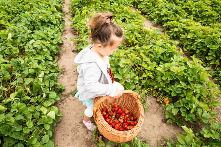Cute Girl Picking Strawberries In The Garden