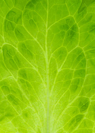 Transparent green leaf closeup textured natural background