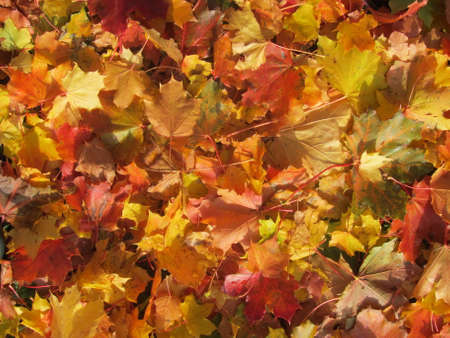 Maple leaves of different colors - maple background Stock fotó