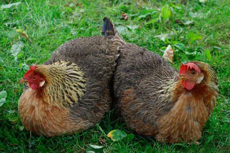 Two chickens are sitting on the green grass. Close-up, horizontal frame.
