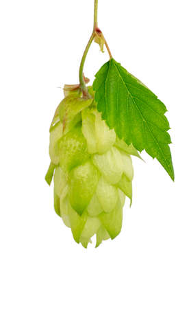 Hop cone with green leaf close-up, isolate on a white background. For banner and label design. It is used in brewing and medicine Stock fotó