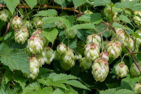 Growing hops with cones, used for brewing and medicine