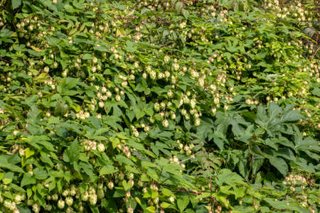 Cones and leaves of hops beautiful landscape. It is used in brewing and medicine Stock fotó