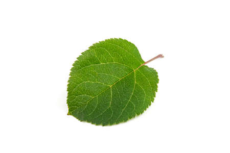 Green leaf of apple tree close up isolated on white background