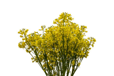 Blooming broccoli cabbage with yellow flowers. Isolated on white background