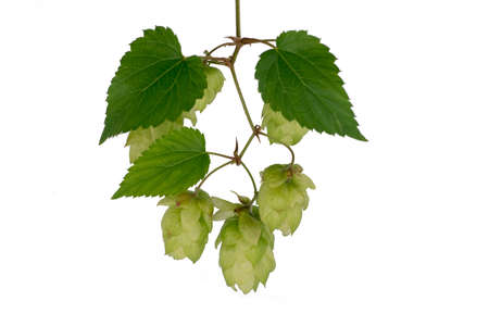 Sprig of hops close-up, isolate on a white background. For banner and label design. It is used in brewing and medicine