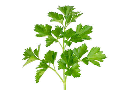 Beautiful sprig of green parsley isolated on white background. A fragrant vitamin seasoning for nutrition. Healthy food concept