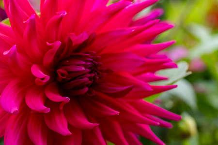 Dahlia flower close up for design and desktop background