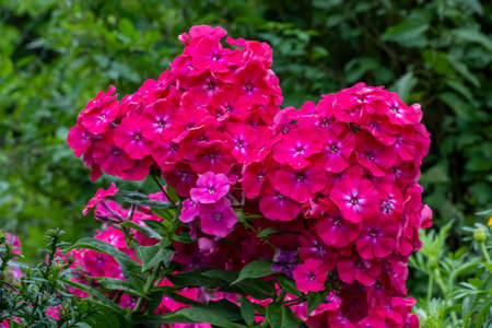 Hydrangea blooms in the garden with pink flowers. Beautiful floral background Stock fotó