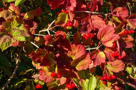 Beautiful autumn landscape with red viburnum for calendar and desktop background Stock fotó