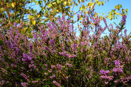 Blooming heather in the forest. The medicinal plant is used in medicine. Beautiful forest landscape for relaxation