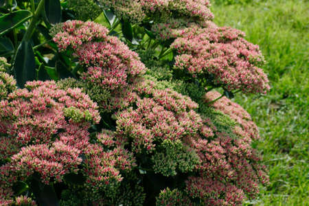 The sedum blooms in the garden with pink flowers. Beautiful floral background for design