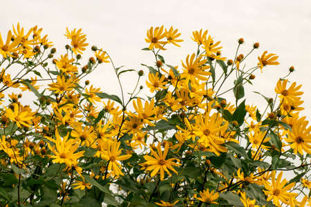 Yellow flowers of Jerusalem artichoke on a background of blue sky, the concept of nature and relaxation
