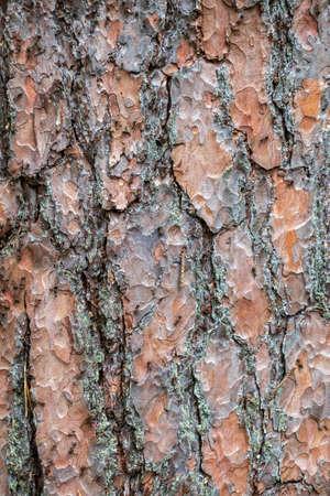 Brown background of pine bark close up for design