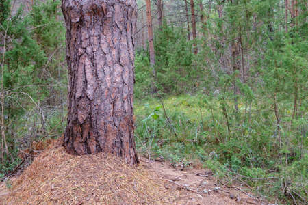 An old large pine tree in the forest. Beautiful forest landscape