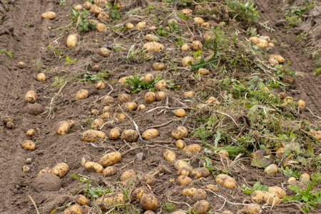 Harvesting potatoes on the field, farmer harvesting concept