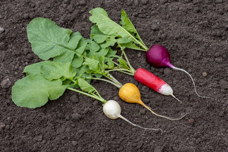 Radish of different varieties white, yellow, red, purple lies on the ground, close-up shot for a farm theme
