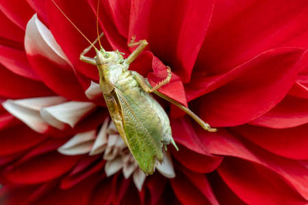 Green grasshopper close up on bright red flower