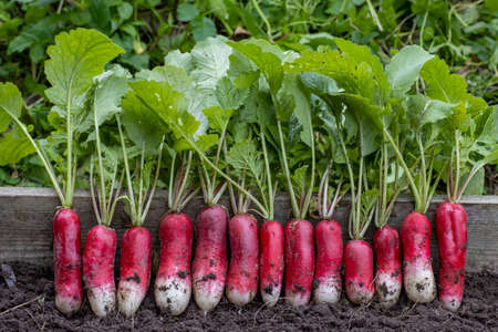 Radishes of different varieties and colors are lying on the ground, close-up shot for a farm theme