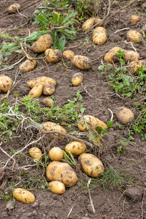 Harvesting potatoes in a potato field. Agricultural background