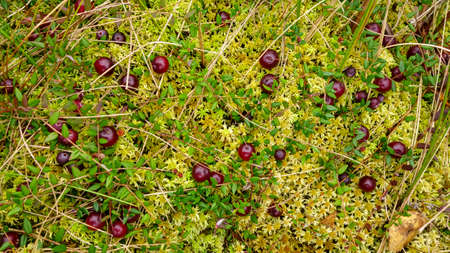 Red cranberries on green moss, beautiful forest background