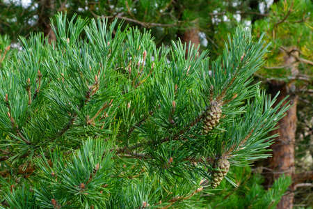 Beautiful green pine branches with cones, beautiful nature background for relaxation and rest