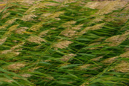 Green reeds in strong gusts of wind, beautiful dynamic natural landscape Stock fotó