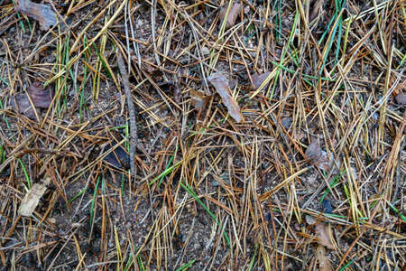 Ants in the forest, running among coniferous needles Stock fotó