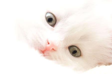 highkey: Portrait of little white cat. High-key Stock Photo
