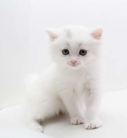 kitten small white: Small white cat sitting at white sofa