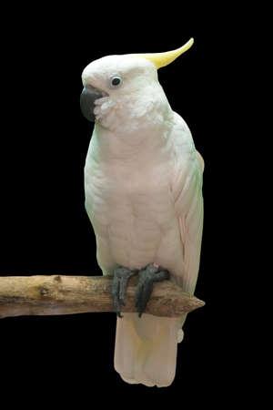 grote witte kaketoe, geïsoleerd op zwart