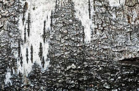 texture of birch