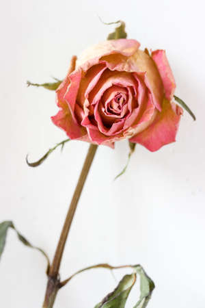 fading: fading rosebud