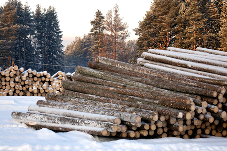 The logs are prepared for transport on a background of pine forest.