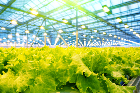 Growing cucumbers in a greenhouse. Industrial agricultural greenhouse. Stock Photo