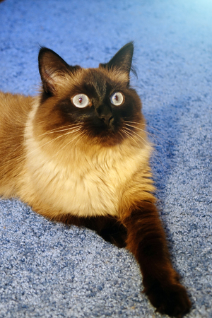 Beautiful cat on a blue background.Blue eye.