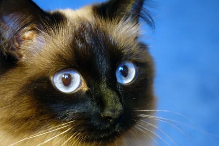 Beautiful cat on a blue background.Blue eye.