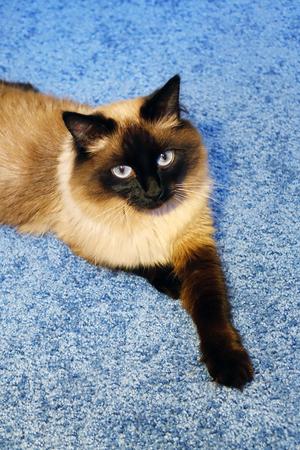 Beautiful cat on a blue background. Stockfoto