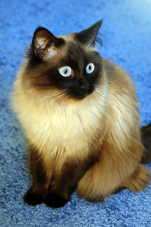 Beautiful cat on a blue background. Archivio Fotografico