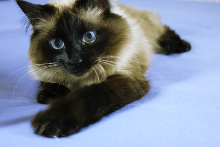 Beautiful cat on a blue background. animal