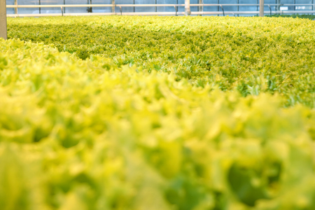 Growing vegetables in a greenhouse. Agriculture. Plantations of green salad.