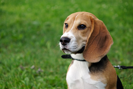 Beautiful tri-color Beagle puppy English. Sitting on the green grass. Beagle is a breed of small hounds.Sad dog.