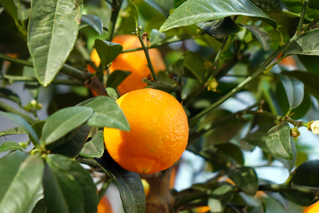 Ripe tangerines on a decorative tree. The vitamin complex. 写真素材