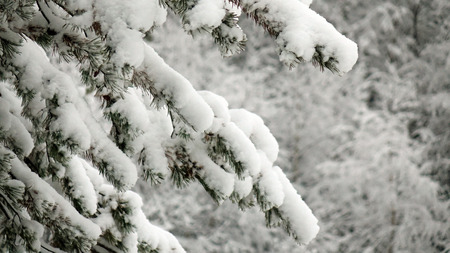 Winter forest with trees covered snow. Christmas tree close-up.