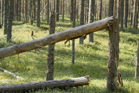 Broken tree trunk in the woods. fallen trees